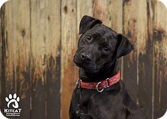 Patterdale Terrier (Fell Terrier)/Labrador Retriever Mix Dog for adoption in Sterling, Massachusetts - Payton