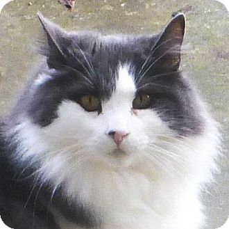 Domestic Longhair Cat for adoption in Port Angeles, Washington - Rosalie