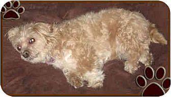 Maltese Dog for adoption in Kirkland, Quebec - lady