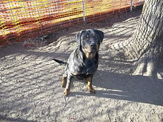 Rottweiler Dog for adoption in Laurel, Montana - Ebby/Referral