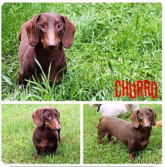 Dachshund Mix Dog for adoption in Garden City, Michigan - Churro