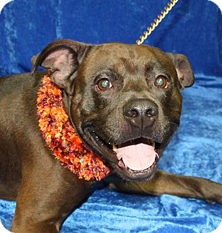Pit Bull Terrier/Labrador Retriever Mix Dog for adoption in Jackson, Michigan - Ernie