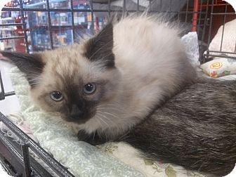 Siamese Kitten for adoption in Alamo, California - Serena