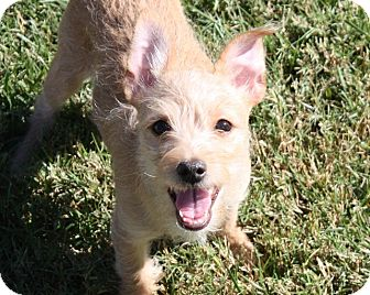 Terrier (Unknown Type, Small)/Cairn Terrier Mix Puppy for adoption in Henderson, Nevada - Sherman