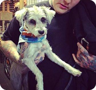 Miniature Schnauzer Mix Dog for adoption in Manhattan, New York - Samantha