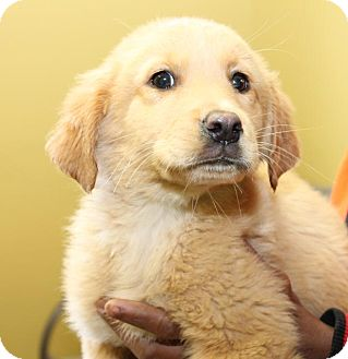 Great Pyrenees/Labrador Retriever Mix Puppy for adoption in Milford, New Jersey - Cassie