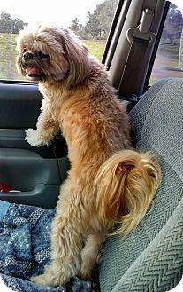 Shih Tzu Dog for adoption in Ruskin, Florida - Rocky