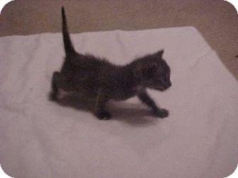 Domestic Shorthair Kitten for adoption in Fayetteville, Georgia - Jennifer
