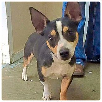 Chihuahua/Rat Terrier Mix Dog for adoption in Powder Springs, Georgia - Sid