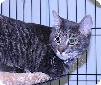 American Shorthair Cat for adoption in Lumberton, North Carolina - Zorro