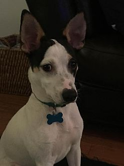 Terrier (Unknown Type, Medium) Mix Dog for adoption in Columbia, Tennessee - Lupin/Cp