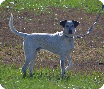 Pointer Mix Dog for adoption in Lebanon, Missouri - Rockie