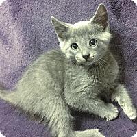 Adopt A Pet :: Soot - Dallas, TX