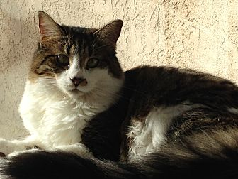 Domestic Mediumhair Cat for adoption in Orange, California - Mavis