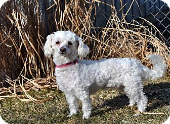 Poodle (Toy or Tea Cup)/Maltese Mix Dog for adoption in Elk River, Minnesota - LEXI AND CHASE