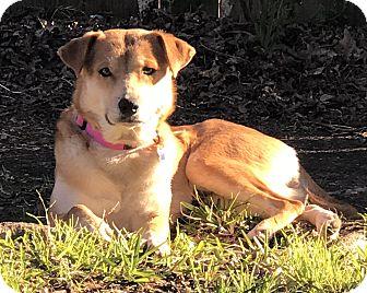 Retriever (Unknown Type)/Spitz (Unknown Type, Medium) Mix Dog for adoption in Burlington, Vermont - A - ANNIE