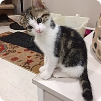 Adopt A Pet :: Poseidon (Si) - St. Louis, MO