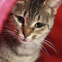 Adopt A Pet :: TJ - Greenville, NC