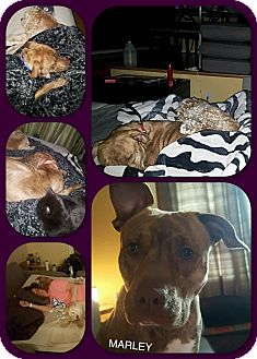 American Staffordshire Terrier/American Pit Bull Terrier Mix Dog for adoption in Richmond, Virginia - Marley