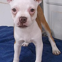Adopt A Pet :: Tango - Birch Tree, MO