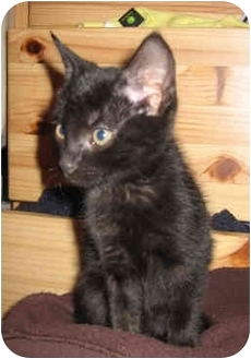 Domestic Shorthair Kitten for adoption in Davis, California - Snowball