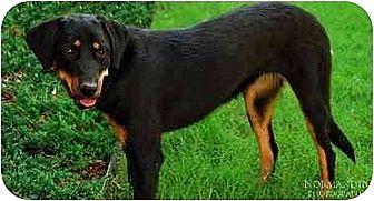 Rottweiler/Australian Shepherd Mix Dog for adoption in Norman, Oklahoma - Molly
