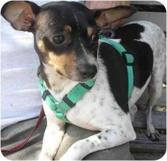 Terrier (Unknown Type, Medium) Mix Dog for adoption in Coral Springs, Florida - Tina