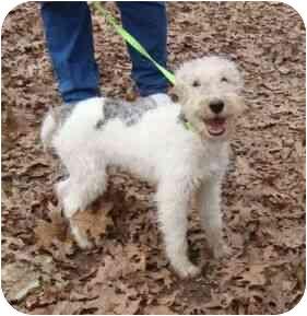 Wirehaired Fox Terrier Dog for adoption in Harrisonburg, Virginia - Chester