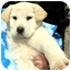 Photo 4 - Labrador Retriever Mix Puppy for adoption in Pawling, New York - BRANDI