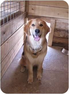Golden Retriever Mix Dog for adoption in Lawrenceburg, Tennessee - Smokey