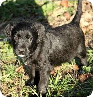 Irish Wolfhound Mix Puppy for adoption in Spring Valley, New York - Donovan