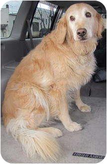 Golden Retriever Dog for adoption in Roslyn, Washington - Shady