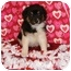 Photo 4 - Australian Shepherd Mix Puppy for adoption in Oswego, Illinois - Sonny