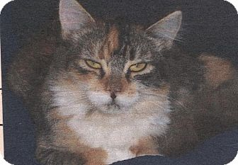 Domestic Mediumhair Cat for adoption in El Cajon, California - Stars