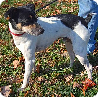 Rat Terrier Mix Dog for adoption in Boise, Idaho - Dewey
