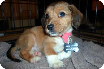 Beagle/Collie Mix Puppy for adoption in Wappingers, New York - Noel