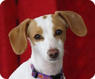 Rat Terrier/Dachshund Mix Dog for adoption in Glenwood, Minnesota - Sophie