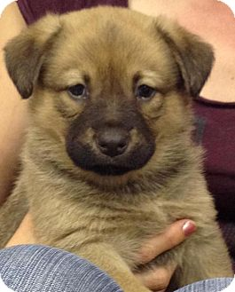 German Shepherd Dog Mix Puppy for adoption in Hammonton, New Jersey - Kaa & Ranjan