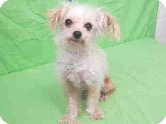 Maltese Mix Dog for adoption in Seattle, Washington - Diamond