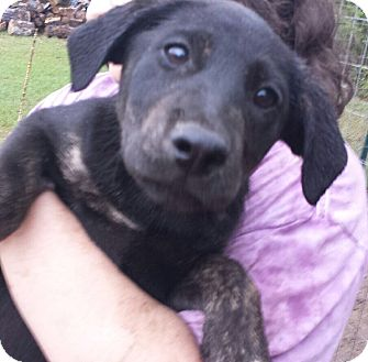 Labrador Retriever Mix Puppy for adoption in Glenburn, Maine - Nitara