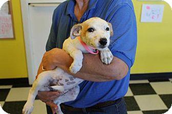 Australian Cattle Dog/Shepherd (Unknown Type) Mix Puppy for adoption in Phoenix, Arizona - Darla