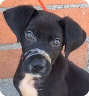 Labrador Retriever/Pointer Mix Puppy for adoption in Los Angeles, California - DEACON (video)