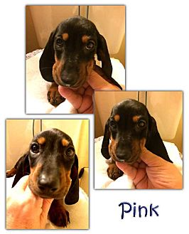 Basset Hound/Dachshund Mix Puppy for adoption in Marietta, Georgia - Pink