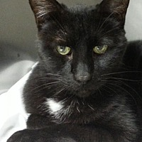 Domestic Shorthair Cat for adoption in Lago Vista, Texas - Emmitt
