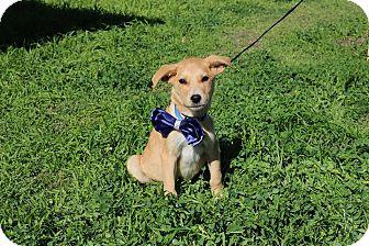 Terrier (Unknown Type, Medium)/Labrador Retriever Mix Puppy for adoption in Pluckemin, New Jersey - Gunner