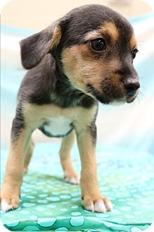 Yorkie, Yorkshire Terrier/Beagle Mix Puppy for adoption in Hagerstown, Maryland - Gabe