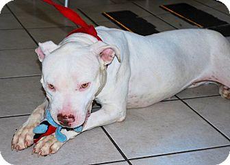 American Bulldog/Boxer Mix Dog for adoption in Santa Monica, California - Sugar