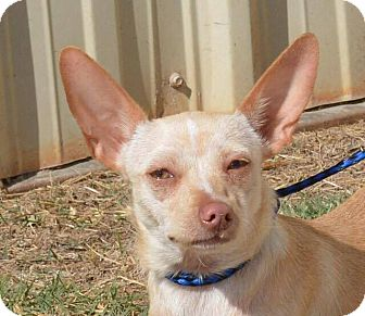 Chihuahua Mix Dog for adoption in Allentown, New Jersey - Gracie