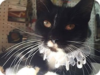 Hemingway/Polydactyl Cat for adoption in Mebane, North Carolina - Polly Biscuit-Maker