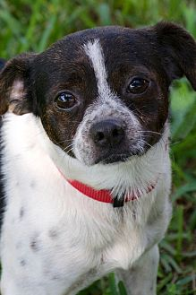 Pug/Terrier (Unknown Type, Small) Mix Dog for adoption in Miami, Florida - Benny